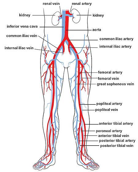 iliac-arteries-and-veins-1901-349.jpg